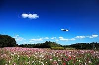 千葉県 コスモスとジェット機 デルタ航空
