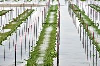 静岡県 浜名湖 海苔養殖
