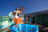 イセエビ漁 カゴからアカイセエビを出す漁師