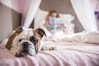 女の子のベッドに伏せるブルドック
