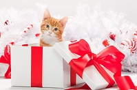 クリスマスプレゼントに入った猫