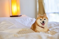 旅館のベッドの上でくつろぐ豆柴犬