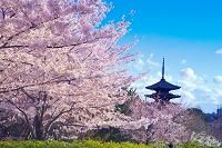 京都府 桜と八坂の塔