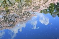 長野県 水面に映る桜