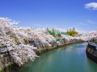 神奈川県 大岡川の桜