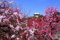 大阪府 大阪城公園 梅林
