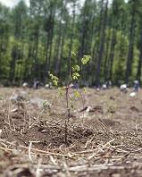 植林(ブナ4~5年木)