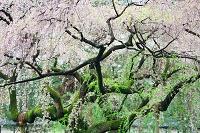 京都府 京都御苑 近衛邸跡の枝垂れ桜