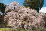 長野県 くよとの枝垂れ桜