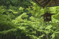 京都府 高桐院(大徳寺塔頭) 新緑の庭