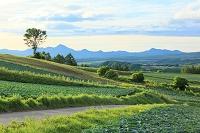 群馬県 嬬恋村 高原のキャベツ畑