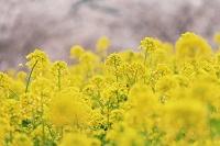 菜の花畑と桜 奈良県