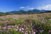 大分県 コスモス咲く九重ラベンダー園からくじゅう連山