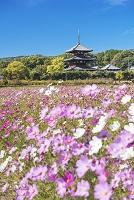 奈良県 法起寺 コスモスと三重塔