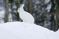 ユキウサギ