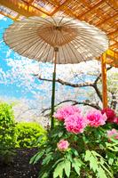 神奈川県 鎌倉市 鶴岡八幡宮の牡丹と桜