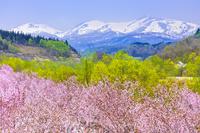 山形県 月山とサクラ