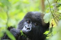 ルワンダ マウンテンゴリラの子ども