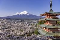 新倉山浅間公園の忠霊塔と桜
