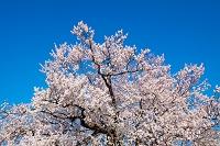 校庭に咲く一本桜