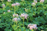 北海道 上士幌町のイモの花