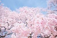 長野県 高遠 コヒガンザクラ