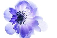 アネモネ 花びら