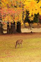 紅葉の奈良公園とシカ