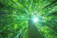 青森県 八甲田 若葉のブナ林と木漏れ日
