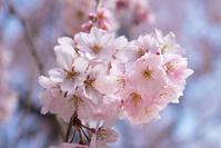 長野県 麻績の里舞台桜