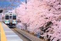 山梨県 勝沼ぶどう郷駅に到着する電車と甚六桜