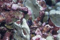 太平洋 キリバス クリスマス島 タテガミカエルウオ属の一種