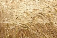 麦畑(二条大麦)
