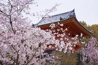 京都府 仁和寺 桜