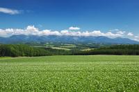 北海道 十勝岳連峰とジャガイモの花 就実の丘付近