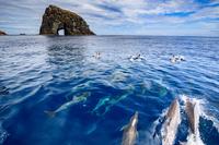 東京都 小笠原 マグロ穴の前を泳ぐハシナガイルカの群れ