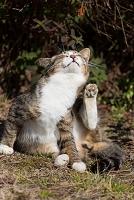 猫(去勢してタマがとれたオス猫)