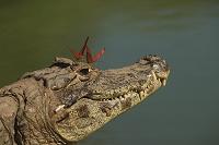 ブラジル パンタナル(熱帯性湿地) ワニと蝶