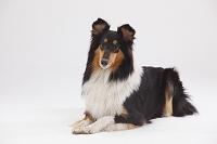 ラフ・コリー 犬