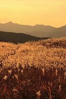 奈良、曽爾高原のススキ