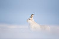 イギリス ユキウサギ