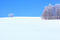 北海道 富良野 凍てつくカラマツ林