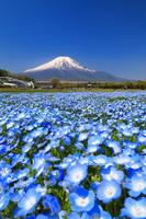 山梨県 花の都公園 ネミフィラの花畑と残雪の富士山