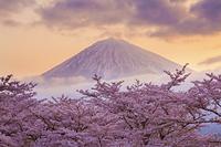 大石寺付近からの桜と富士山の朝焼け