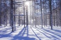 長野県 雪のカラマツ林