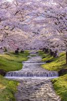 福島県 猪苗代町 観音寺川の桜