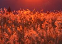 夕陽染まるススキの高原