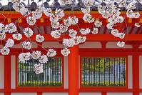 京都府 京都市 三十三間堂 蓮華王院  桜