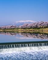 宮城県 桜咲く白石川堤一目千本桜