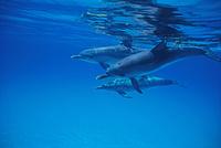 カリブ海 バハマ諸島 グランドバハマ島 マダライルカ